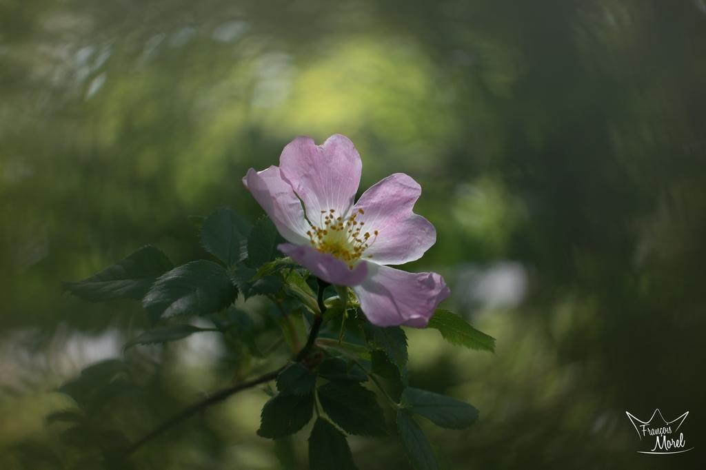[Macro_et_Proxy] Fleur rose (Eglantier?) Dsc_5611