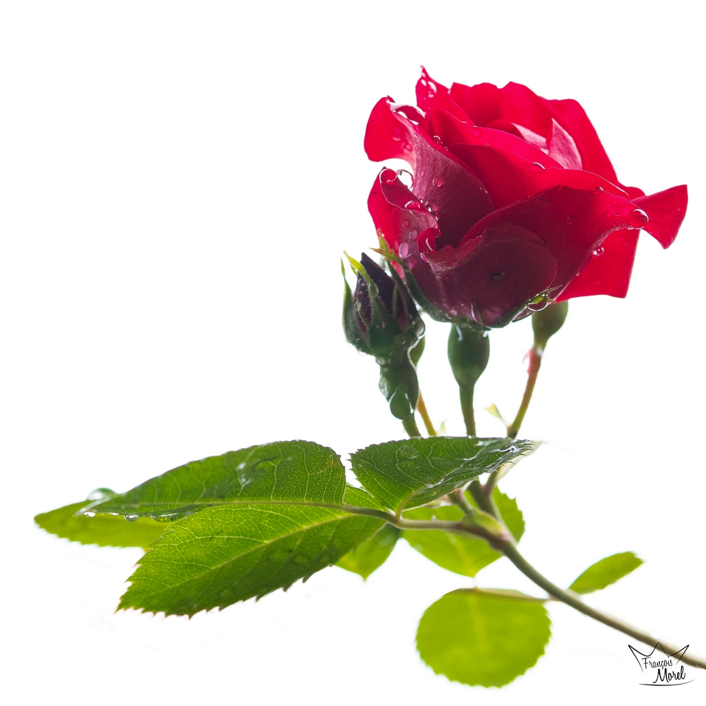 [Flore] Rose Dsc_5812