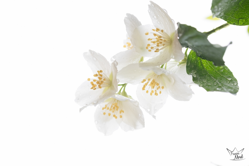 [Flore] Seringa Dsc_5813