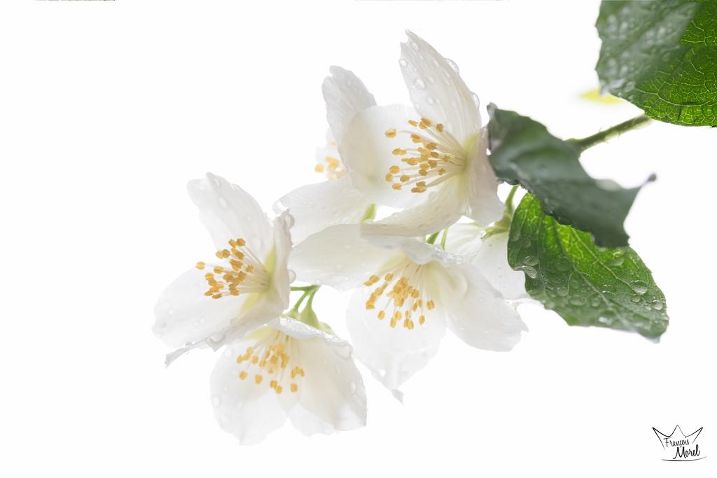[Flore] Seringa Dsc_5814