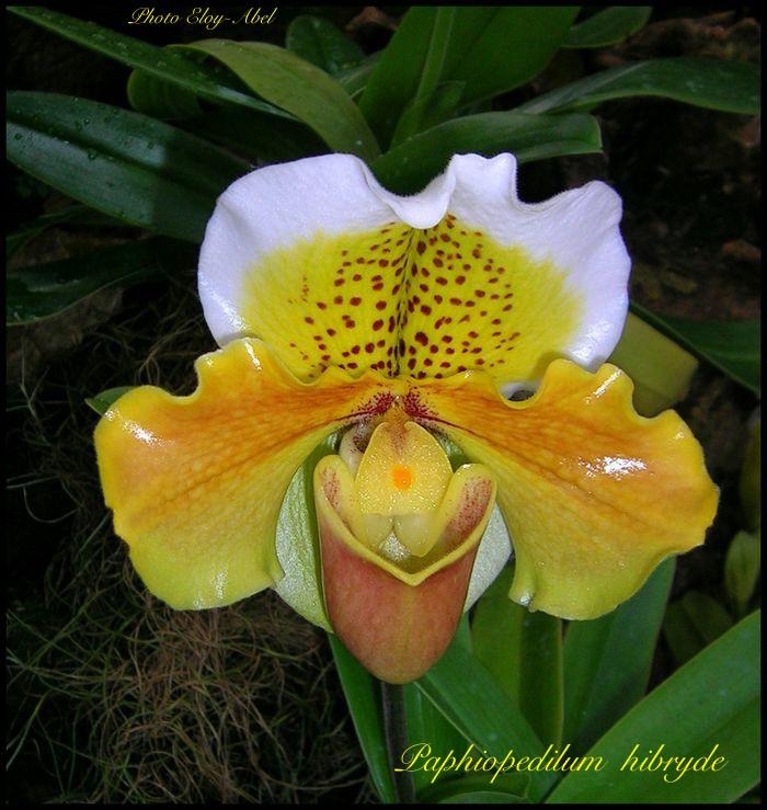 Mes orchidées Paphio10
