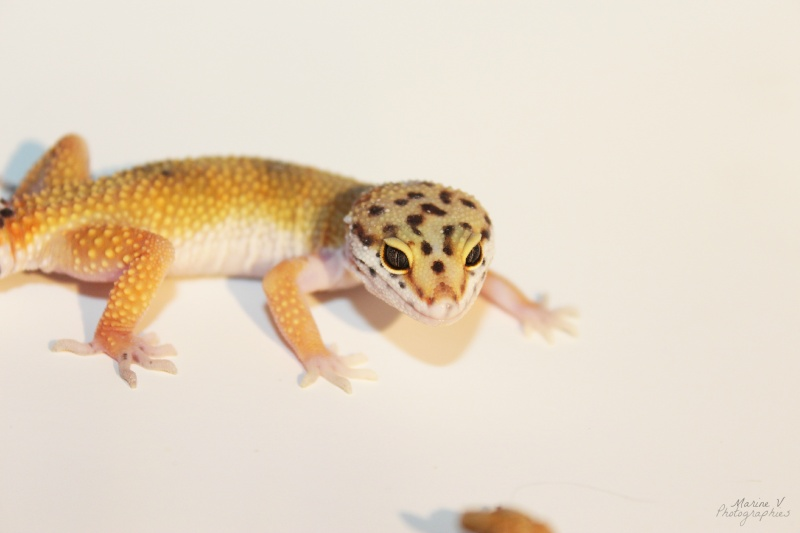 [Geckos Léopard] Krokmou, Mira et Pêche. Img_2010