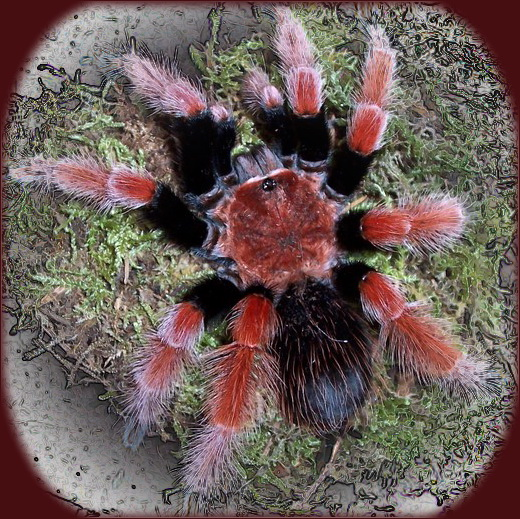 fougere araignée (davallia fejeensis) - Page 2 10060310