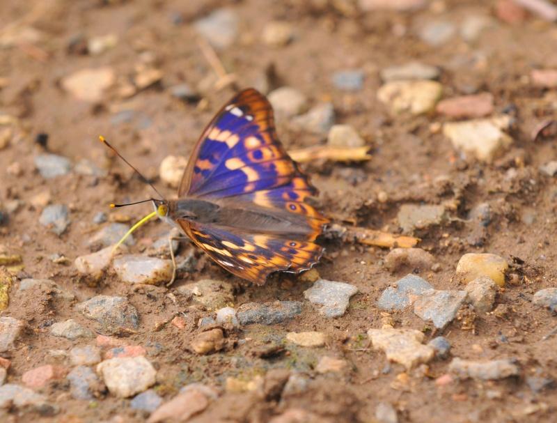 le déffilé des chenilles et des papillons Dsc_2710