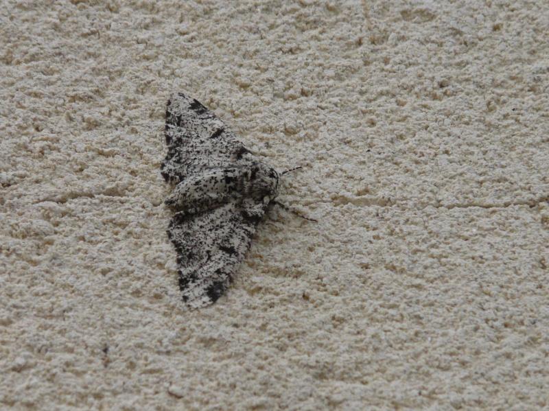 le déffilé des chenilles et des papillons P1070510