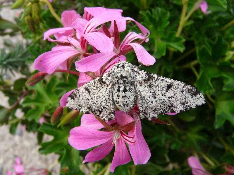 le déffilé des chenilles et des papillons P1070511