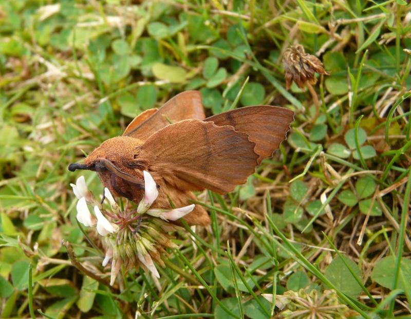 le déffilé des chenilles et des papillons P1070710