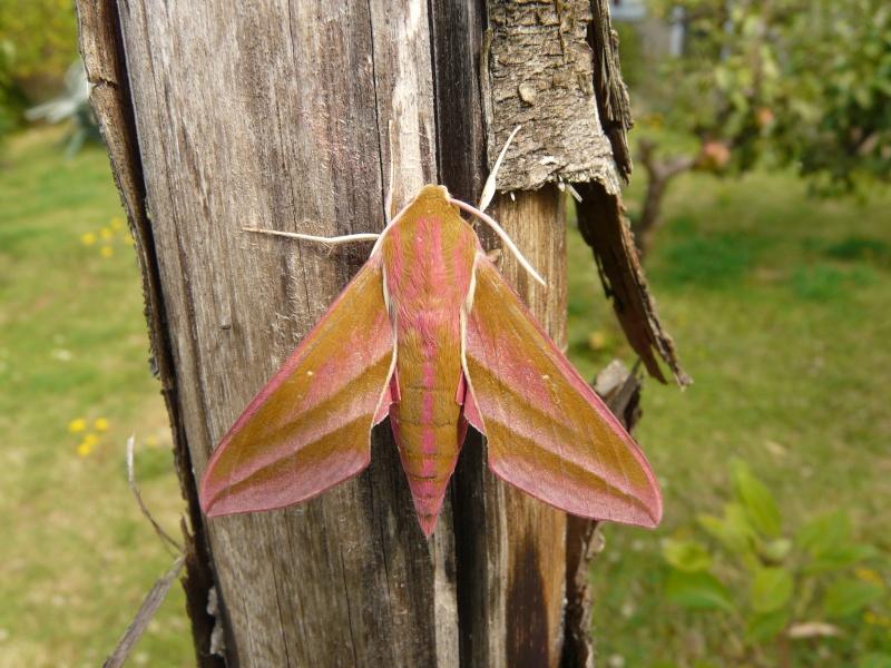 le déffilé des chenilles et des papillons P1070711