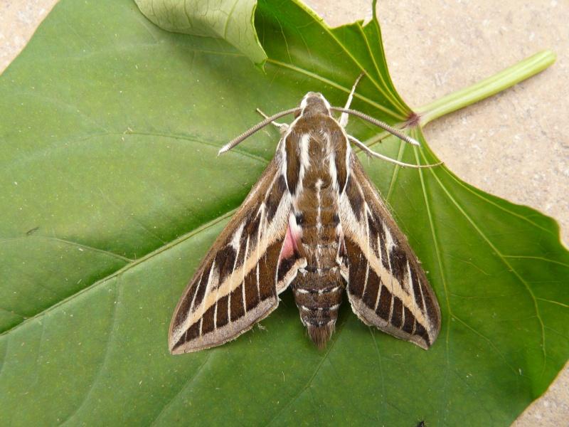 le déffilé des chenilles et des papillons P1080211