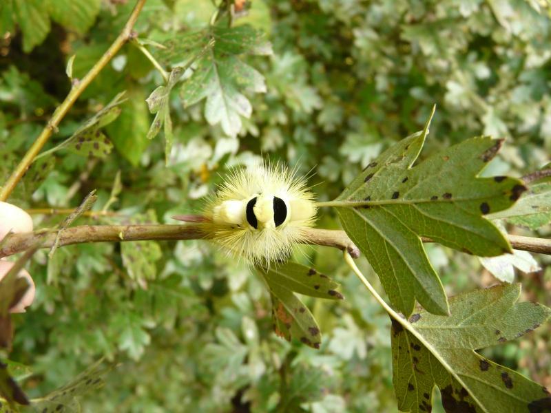 le déffilé des chenilles et des papillons P1080910