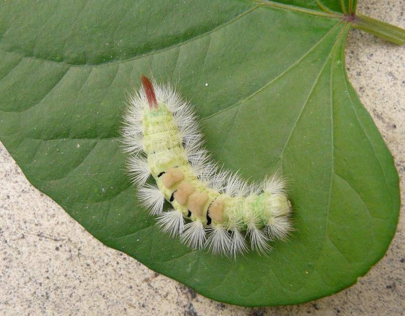 le déffilé des chenilles et des papillons P1090110