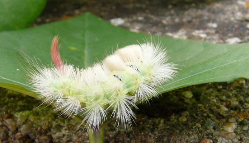 le déffilé des chenilles et des papillons P1090111