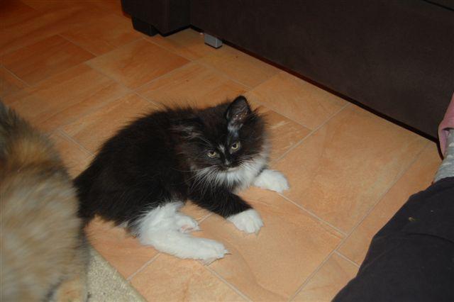 chaton a vendre Xaa10