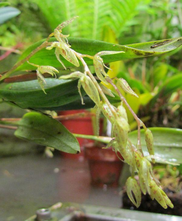 Pleurothallis loranthophylla Img_0014