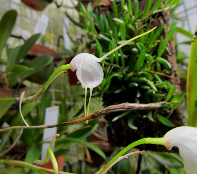 Alaticaulia infracta Img_0021
