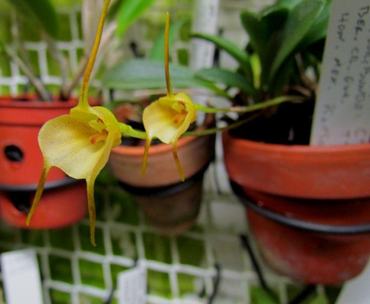 Acinopetala floribunda Img_0029