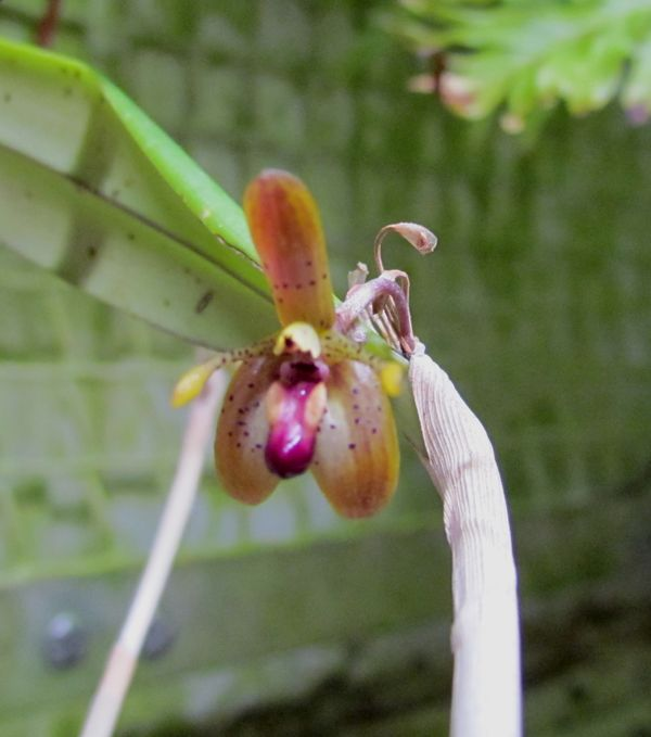 Myoxanthus punctatus Img_0042