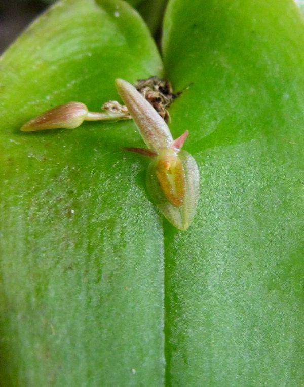 Acronia microcardia ssp. tamaensis Img_0056