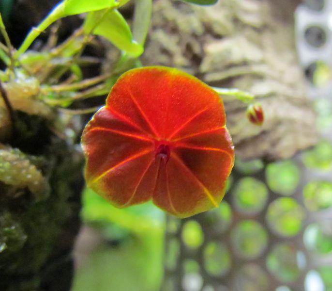 Lepanthes telipogoniflora Img_0057