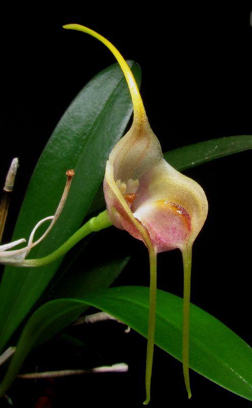 Alaticaulia infracta var. albescens (ex. Masdevallia) Img_0068