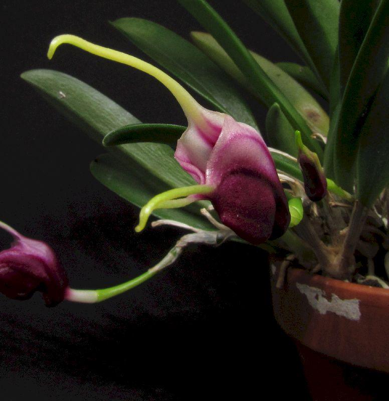 Alaticaulia discoidea (ex. Masdevallia) Img_0069