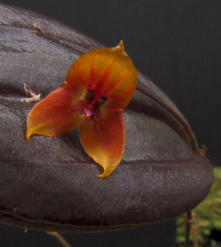 Lepanthes niesseniae (niessenii) Img_0087