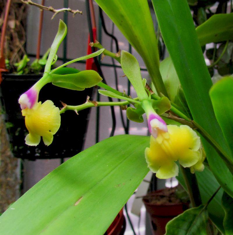 Epidendrum pseudepidendrum Img_0091