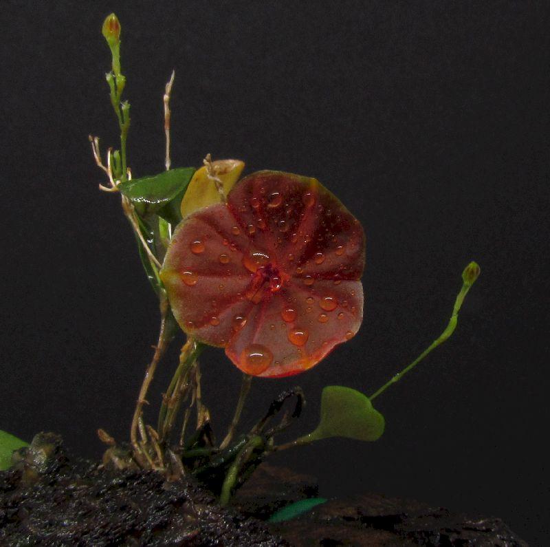 Lepanthes telipogoniflora Img_0096