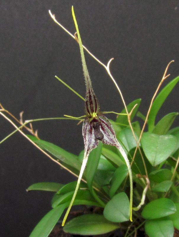 Muscarella claviculata Img_0118