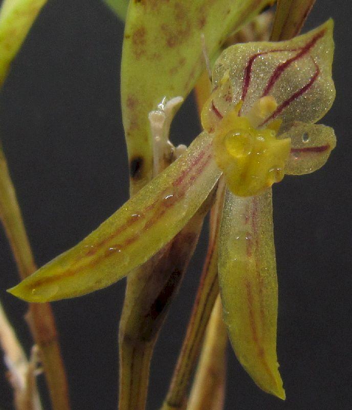 Restrepiopsis inaequalis Img_0122