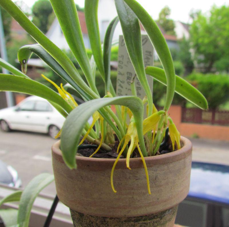 Acinopetala herradurae ex. Masdevallia herradurae Img_4711