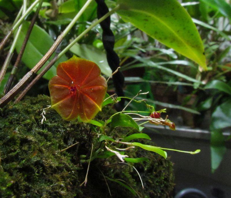 Lepanthes telipogoniflora Img_4719