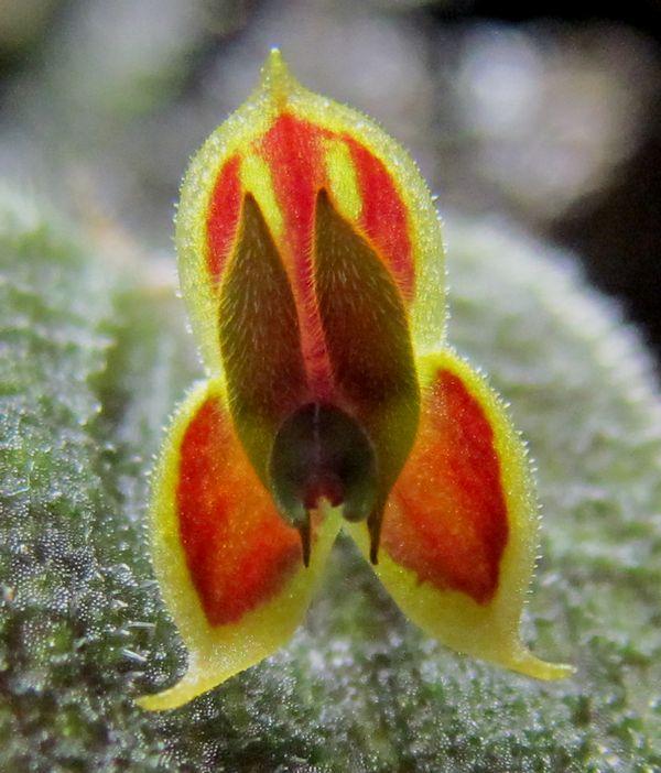 Lepanthes dodsonii Lepant10