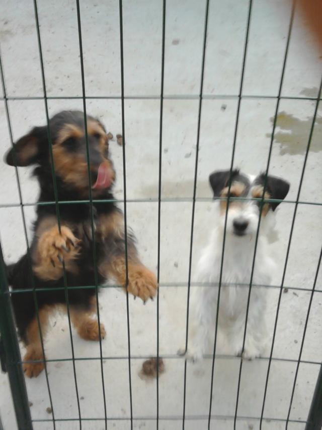 mes petits chiens aux sangliers 00210