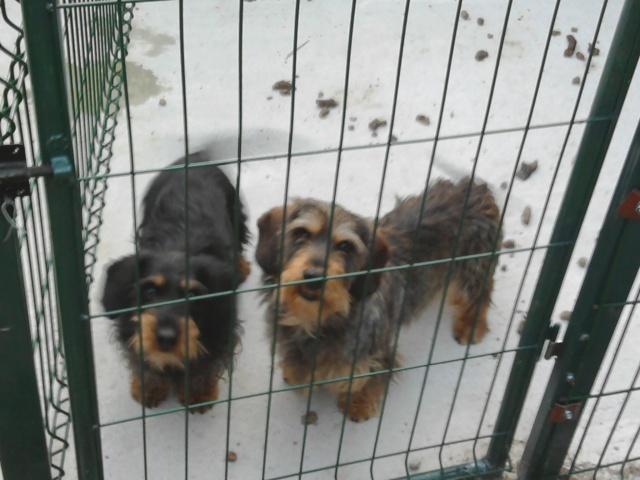 mes petits chiens aux sangliers 00310