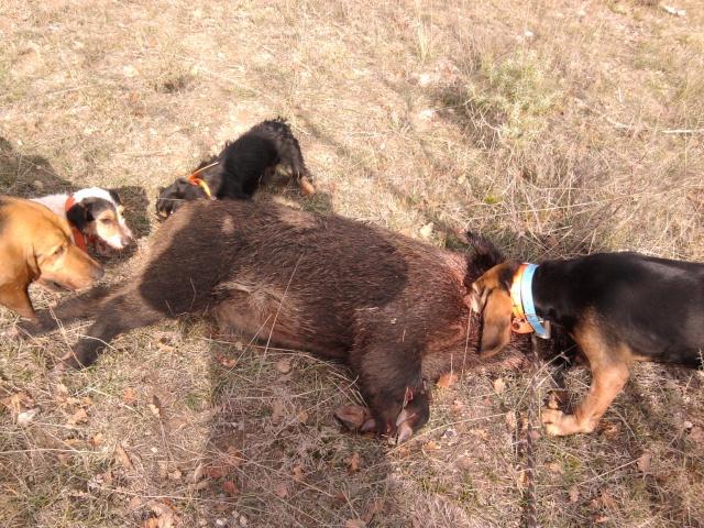 mes petits chiens aux sangliers Photo010