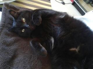 Chat noir, mâle, 4 ans, Var Dude10