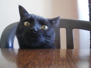Chat noir, mâle, 4 ans, Var Dude_210