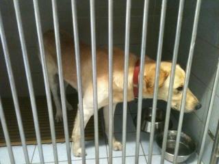 Labrador beige, adulte, Var Lab_be10