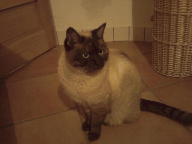 Jeune chat siamois, Var Siamoi11