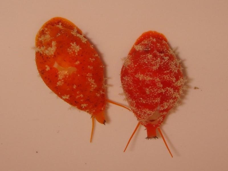 Palmadusta ziczac - (Linnaeus, 1758) - Live Dsc05511