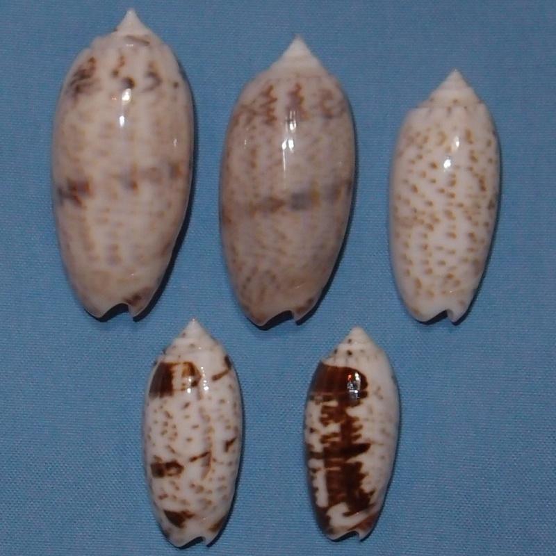 Miniaceoliva atalina (Duclos, 1835) P1031117