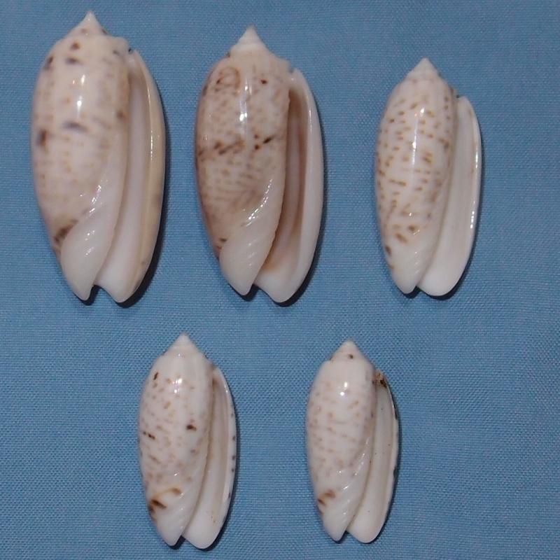 Miniaceoliva atalina (Duclos, 1835) P1031118