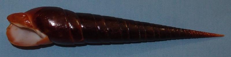 Oxymeris dimidiata - (Linnaeus, 1758) P1061115