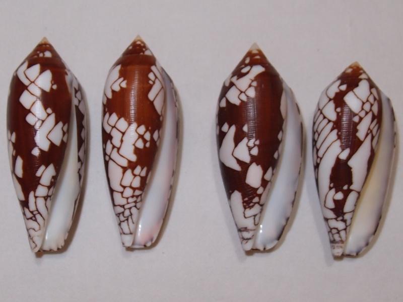 Conus (Darioconus) aulicus   Linnaeus, 1758 - Page 3 P1081215