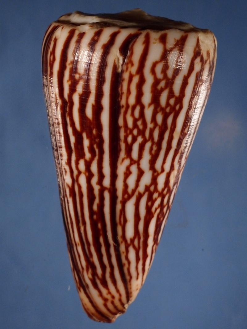 Conus (Strategoconus) maldivus   Hwass in Bruguière, 1792 P1121317