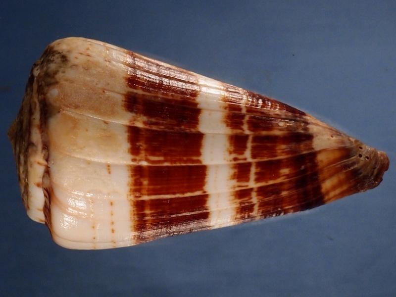 Conus (Strategoconus) maldivus   Hwass in Bruguière, 1792 P1121322