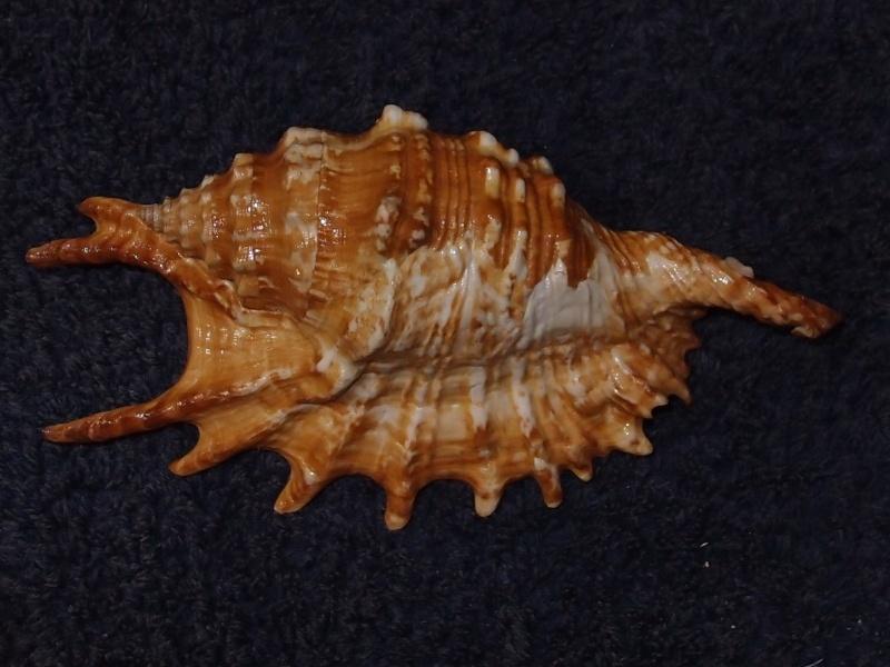 Strombidae Ophioglossolambis digitata - (Perry, 1811)  P1151414