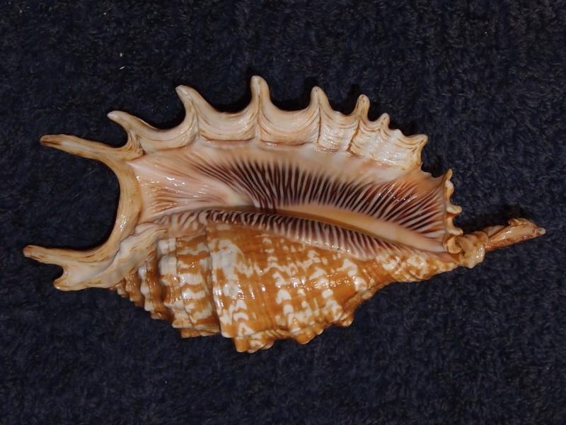Strombidae Ophioglossolambis digitata - (Perry, 1811)  P1151415