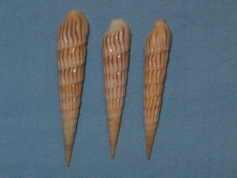 Myurella parkinsoni - (Cernohorsky & Bratcher, 1976) P1171410